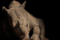 Southern White Rhinoceros rhino royalty free stock images
