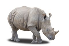 Southern White Rhinoceros. On a White Background Royalty Free Stock Photography