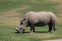 Southern white rhinoceros Stock Photos