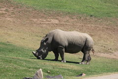 Southern white rhinoceros Royalty Free Stock Photography
