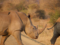 Southern white rhinoceros Royalty Free Stock Image