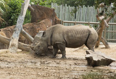 Southern White Rhinoceros in zoo. Adult Southern White Rhinoceros in standing in sun in Houston, Texas zoo Stock Images