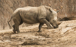 Southern White Rhinoceros in zoo. Southern white rhinoceros walking in sun in Houston, Texas zoo Stock Photo