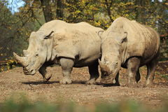 Southern white rhinos Royalty Free Stock Images