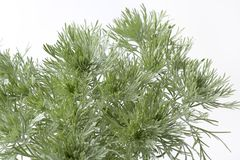Southern wormwood Artemisia Stock Images