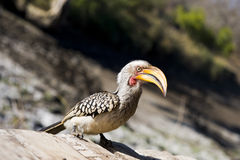 Southern Yellow-billed Hornbill Stock Images