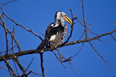 The Southern Yellow-billed Hornbill. (Tockus leucomelas) is a Hornbill found in southern Africa Stock Photography