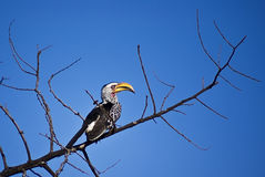 The Southern Yellow-billed Hornbill. (Tockus leucomelas) is a Hornbill found in southern Africa Stock Image