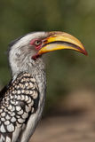 Southern Yellow-billed Hornbill. Close up of a Southern Yellow-billed Hornbill Stock Photos