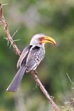 Southern Yellow-billed Hornbill Stock Photos