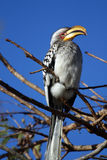 Southern Yellow-billed Hornbill. In the Kruger National Park South Africa Stock Image