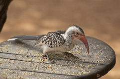 Southern yellow-billed hornbill Stock Photography