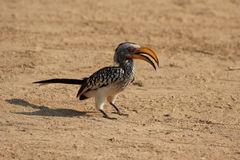 Southern Yellow-billed Hornbill Royalty Free Stock Image