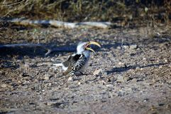 A southern yellow billed hornbill bird foraging on the floor Stock Images