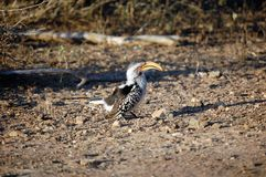 A southern yellow billed hornbill bird foraging on the floor Stock Image