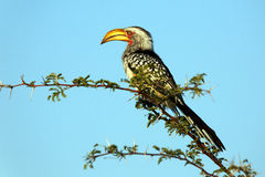 Southern Yellow-Billed Hornbill. On a brunch Stock Photography