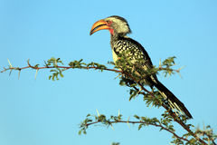 Southern Yellow-Billed Hornbill. On a brunch Royalty Free Stock Photos