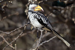 Southern yellow-billed hornbill in bush Stock Photos