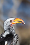 Southern yellow-billed hornbill close up stock images