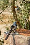 Southern yellow-billed hornbill at a feeder. Southern yellow-billed hornbill - Tockus leucomelas - at a feeder at a lodge in Botswana royalty free stock images