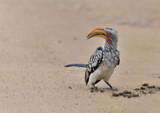 Southern Yellow billed hornbill on the ground Stock Images