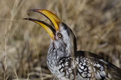 Southern yellow-billed hornbill juggling ant Stock Photo
