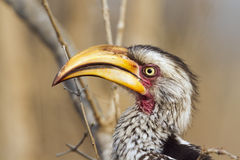 Southern yellow-billed hornbill in Kruger National park Stock Images