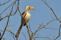 Southern yellow-billed hornbill in Kruger NP,South Stock Photo