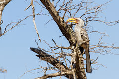 Southern Yellow-billed Hornbill, Leafless Tree stock photo