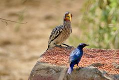 Southern yellow-billed hornbill and Meves`s glossy-starling at a feeder royalty free stock photography