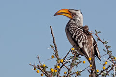 Southern yellow-billed hornbill, Namibia Royalty Free Stock Photo
