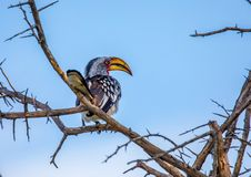 Southern yellow-billed hornbill at the Nxai Pan Nationalpark in Botswana. During summer royalty free stock image