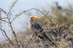 Southern Yellow-billed Hornbill perched in a tree Stock Photo