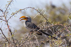 Southern Yellow-billed Hornbill perched in a tree Royalty Free Stock Photos