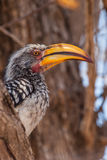 Southern Yellow-Billed Hornbill. Is siting on the branch Stock Images