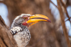 Southern Yellow-Billed Hornbill. Sits on the branch Stock Images