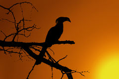 Southern yellow-billed hornbill Sunset Silhouette Royalty Free Stock Photo
