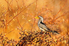Southern Yellow-billed Hornbill, Tockus leucomelas, bird with big bill in the nature habitat, evening sun, sitting on the branch, Stock Photography