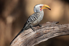 Southern yellow-billed hornbill. The southern yellow-billed hornbill Tockus leucomelas on the branch with brown background stock image
