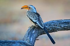 Southern Yellow-billed Hornbill, Tockus leucomelas. Etosha, Namibia, Africa. Detail portrait of bird with big yellow bill. Wildlife scene from African nature stock photography