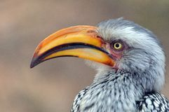 Southern yellow-billed hornbill (Tockus leucomelas) Stock Photos