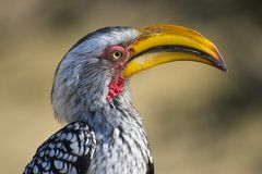 Southern Yellow-billed Hornbill (Tockus leucomelas) Royalty Free Stock Photo