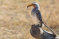 Southern Yellow-billed Hornbill (Tockus leucomelas) Stock Photo