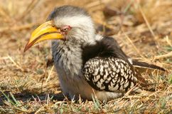 Southern Yellow-billed Hornbill (Tockus leucomelas) Royalty Free Stock Images