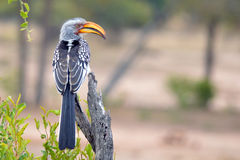 Southern Yellow-billed Hornbill (Tockus leucomelas) Stock Images