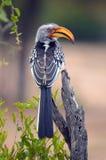 Southern Yellow-billed Hornbill (Tockus leucomelas) Royalty Free Stock Photo