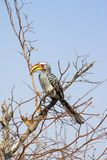 Southern yellow-billed hornbill in a tree. Southern yellow-billed hornbill - Tockus leucomelas - perched in a tree in Botswana royalty free stock photography