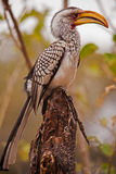 Southern Yellow-billed Hornbill (Tockus leucomelas) 3517 Stock Images