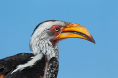 Southern Yellow-billed Hornbill, Tockus leucomelas, portrait of grey and black bird with big yellow bill, Botswana, Africa Royalty Free Stock Photos