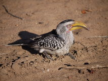 Southern yellow-billed hornbill. (Tockus leucomelas) in South Africa Stock Image